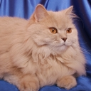 British Long-haired Cat